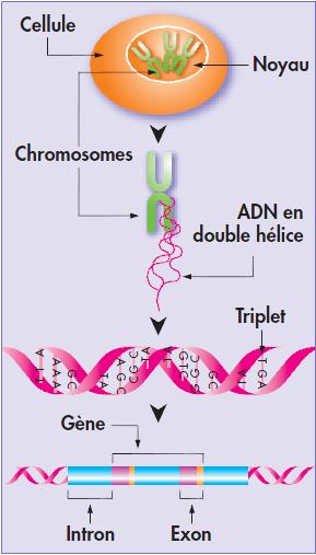 02 - Schéma ADN